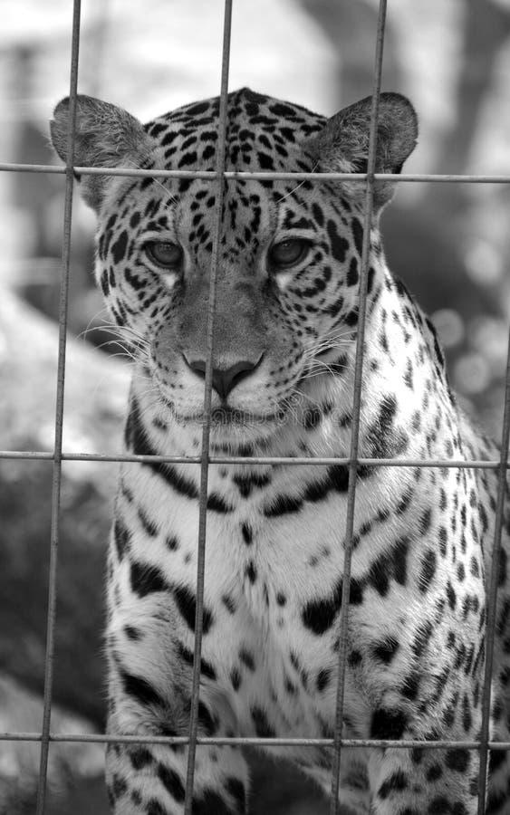 Jaguar-Welp royalty-vrije stock afbeelding