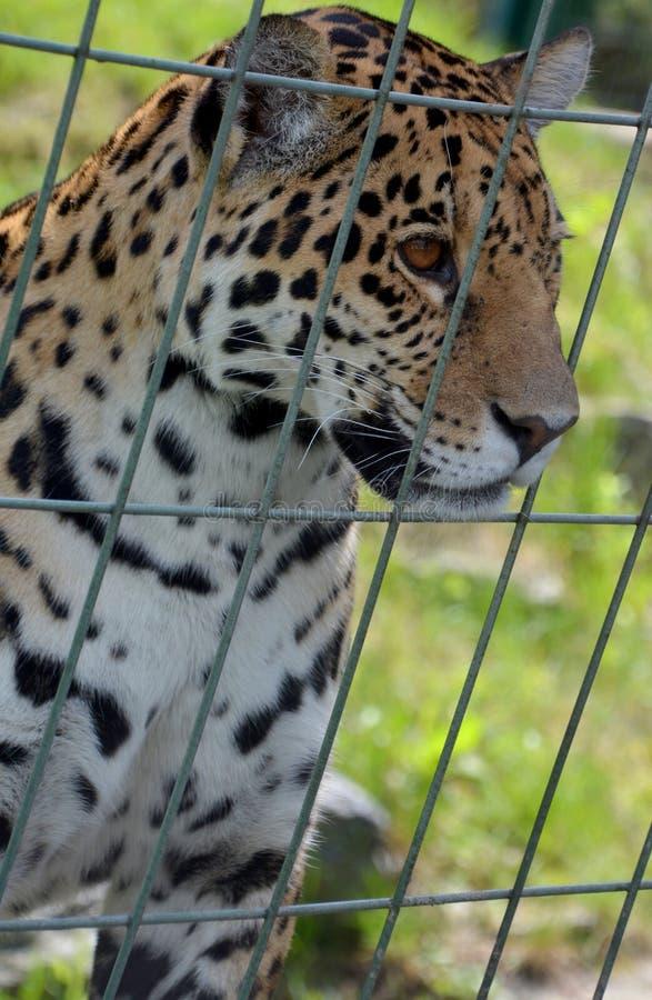 Jaguar-Welp stock foto's