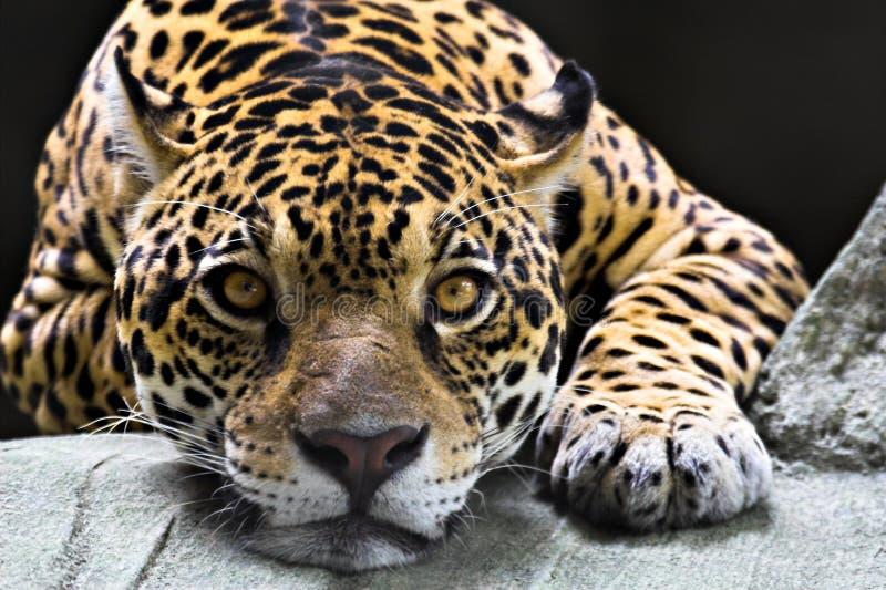 jaguara fotografia royalty free