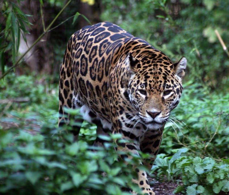 jaguara zdjęcia stock
