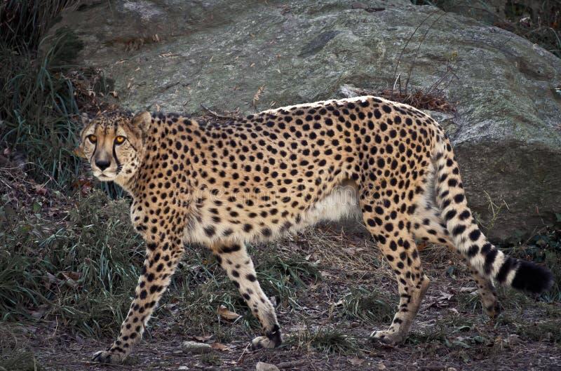 Jaguarkringstrykande Royaltyfri Foto