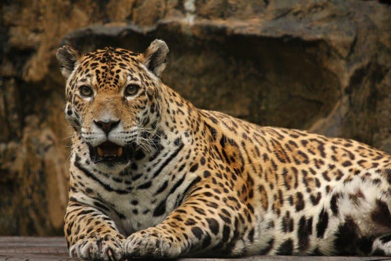 jaguarmanligfoto arkivfoto