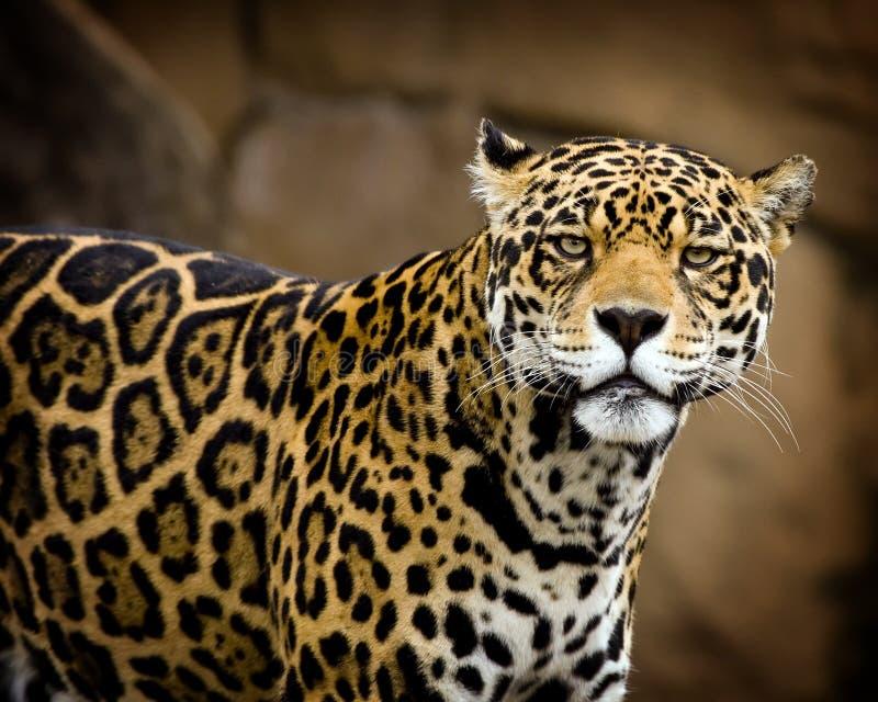 Jaguarportrait lizenzfreie stockfotografie