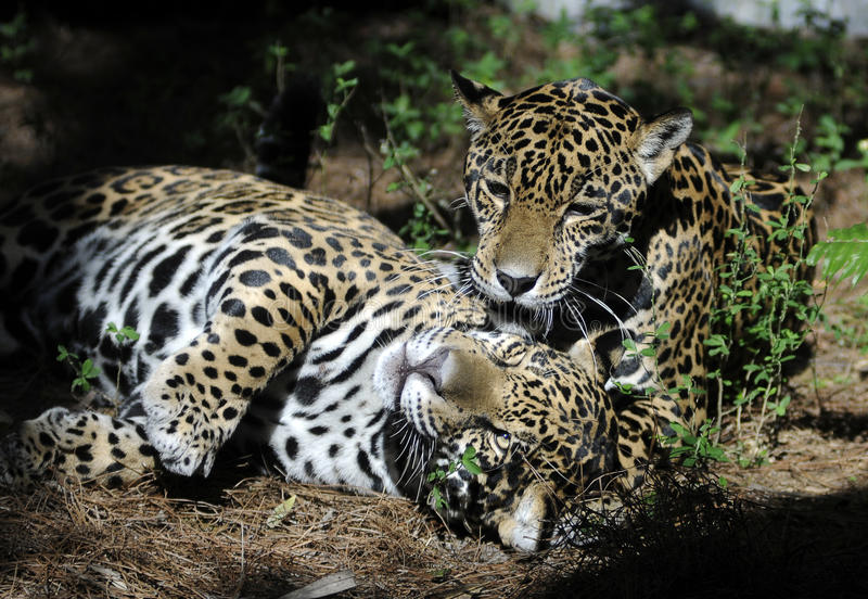 Download Jaguars playing stock photo. Image of onca, friends, animals - 11759594