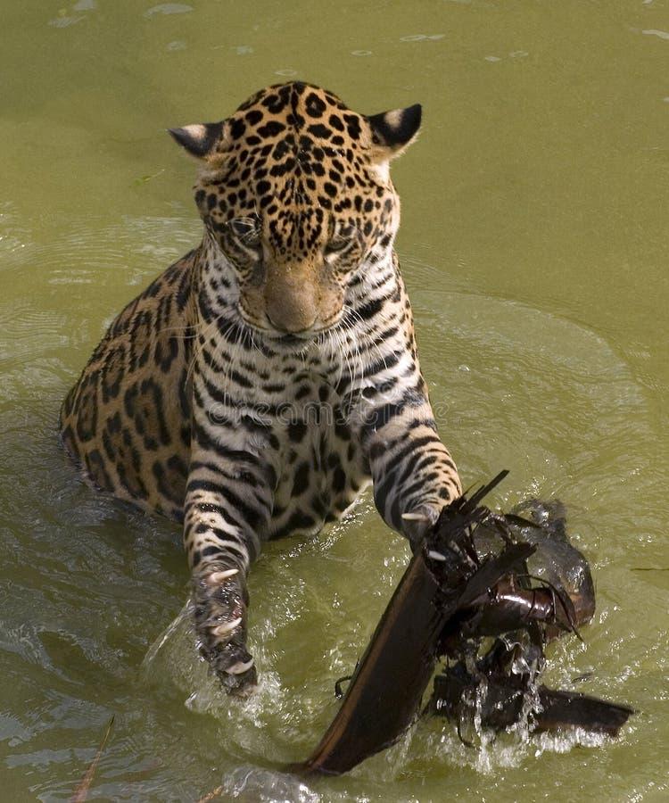 Jaguarspielen stockfoto