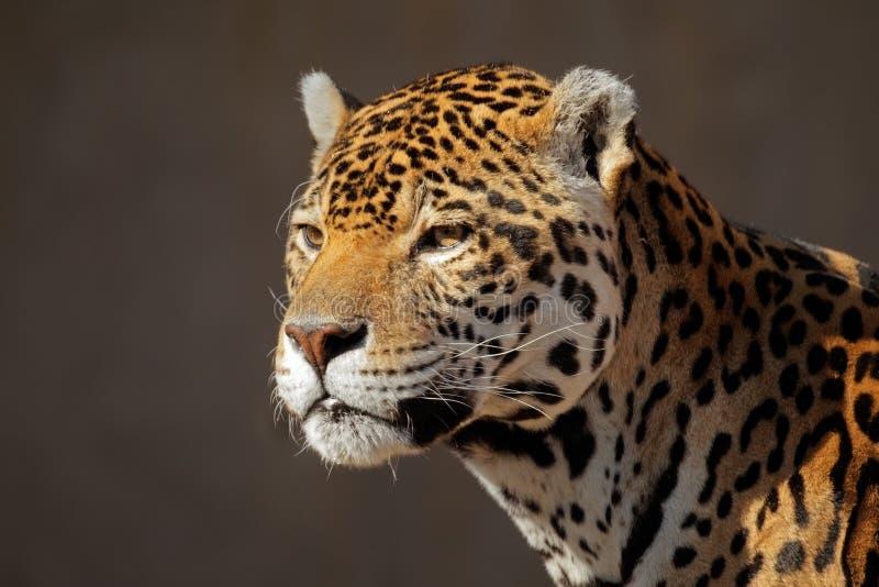 jaguarstående arkivbild