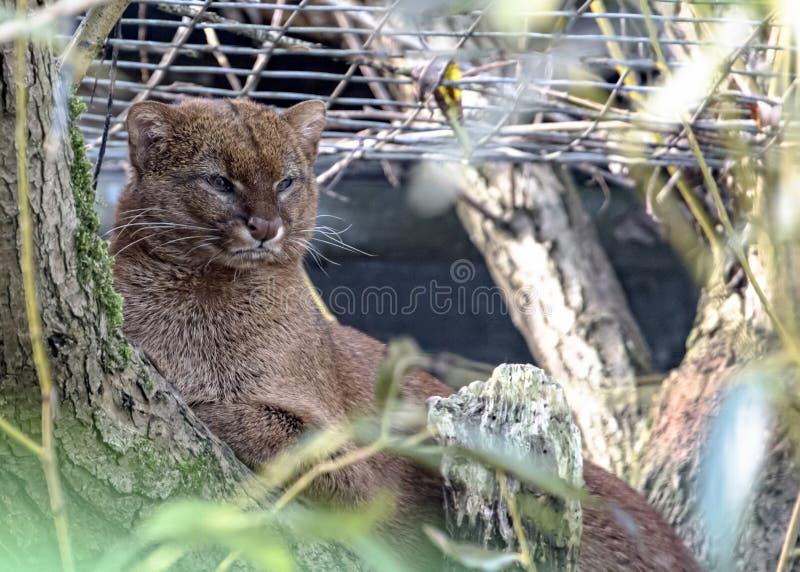 Jaguarundi en captivité - dans l'arbre photographie stock