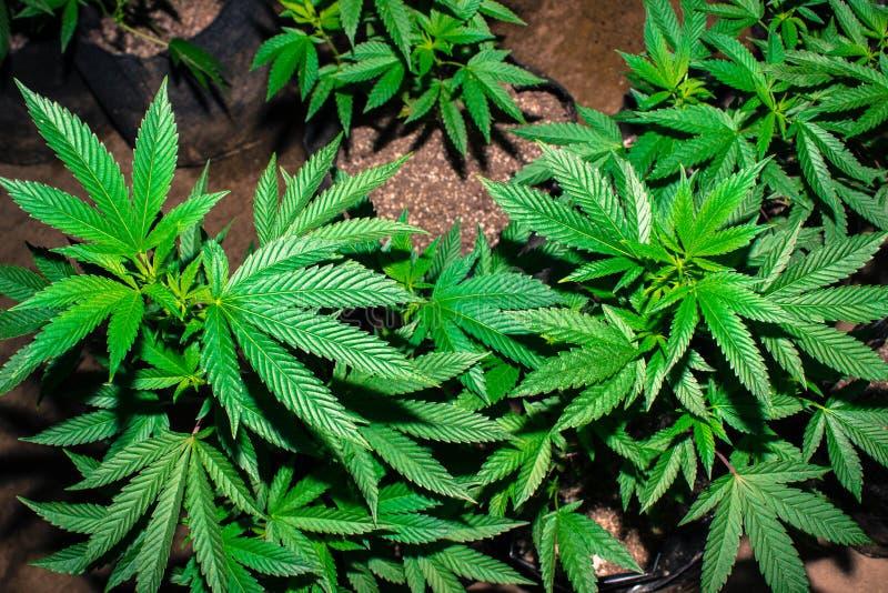 Jah Works Medical Cannabis Plants fotografia stock