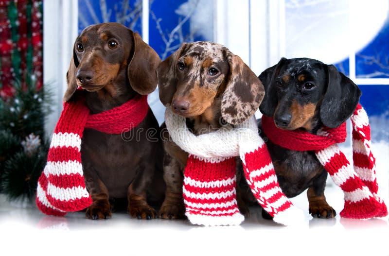 Jahr-Weihnachtsdachshund, Feiertage und Feierhaustier lizenzfreie stockfotografie
