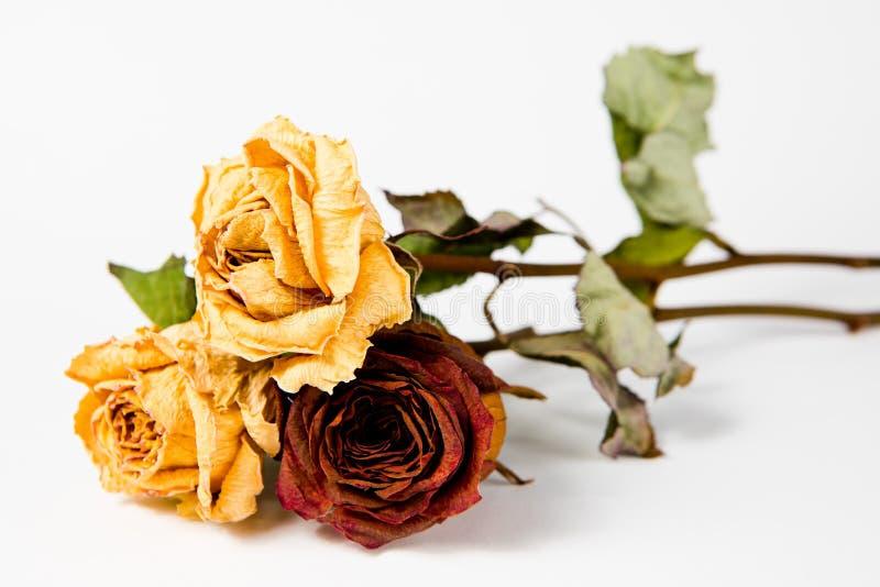 10 Jahre der alten Rosen - trockene verblaßte Königinnen aller Flora stockfotos