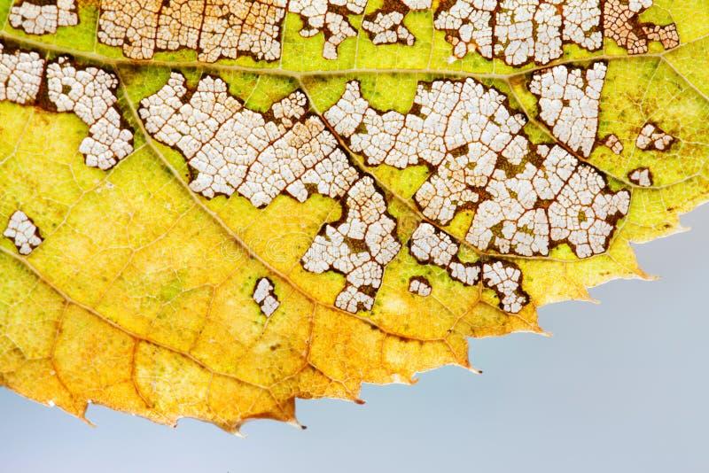 Jahreszeitänderungskonzept Mustermakroansicht des bunten Herbstespenblattes skeleton strukturierte Grüne Farbe des gelben Brauns, stockbild