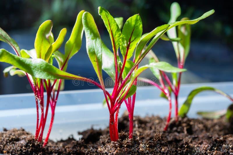 Jahreszeit der Gartensämlinge im Frühjahr, junge Sprösslinge von rote Rote-Bete-Wurzeln Gemüseanlage lizenzfreie stockfotos