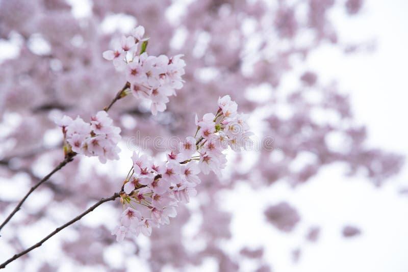 Jahreszeit der Kirschblüten im Frühjahr bei Japan lizenzfreie stockfotos
