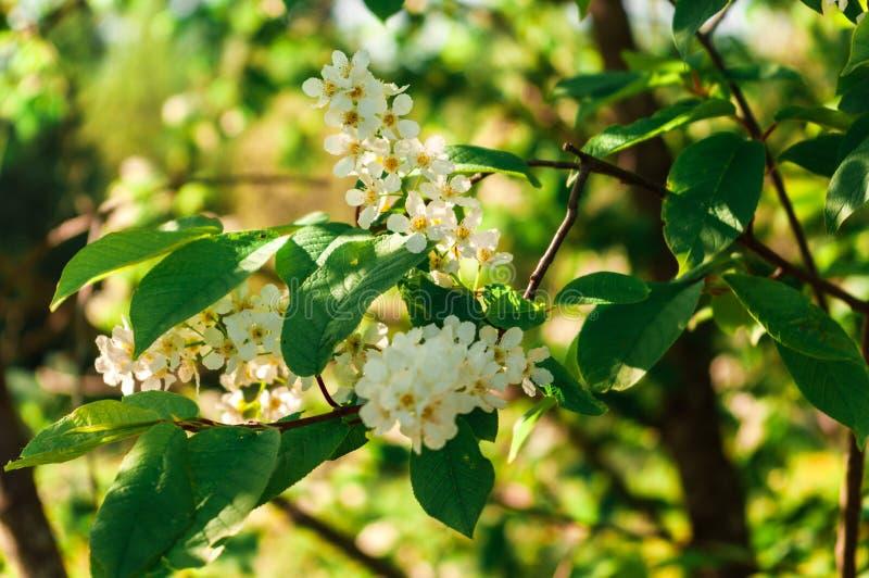 Jahreszeitfrühlingssommerblüten-Vogelkirschblätter lizenzfreie stockbilder