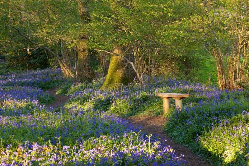 Jaillissez aux bois de jacinthe des bois de Pamphill, Dorset, R-U images stock