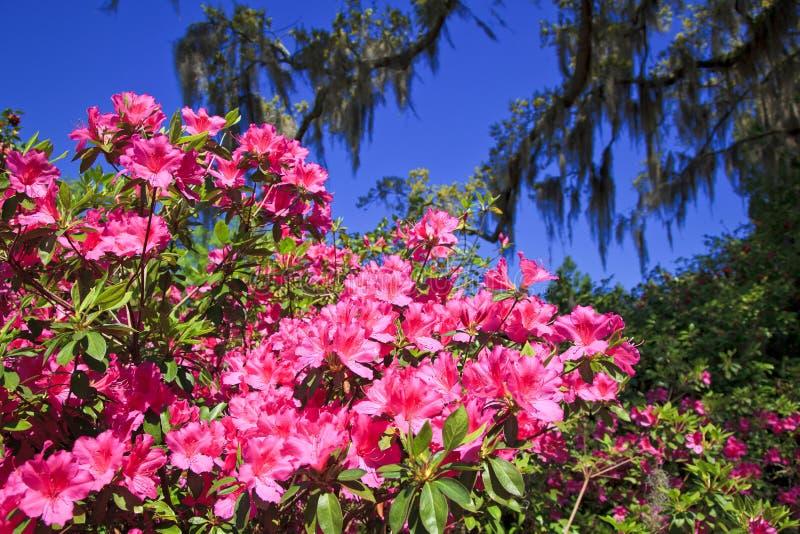 Azalées roses dans les sud photos stock