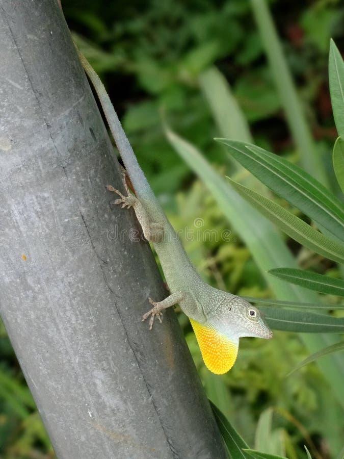 Jaimaican endemic Anole lizard Anolis grahami arkivbilder