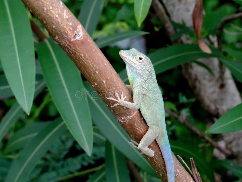 Jaimaican endemic Anole lizard Anolis grahami fotografering för bildbyråer