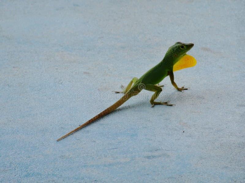 Jaimaican endemic Anole lizard Anolis grahamik arkivbild
