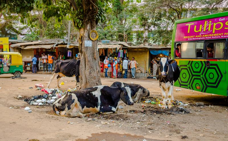 JAIPUR, ΙΝΔΙΑ - 25 ΑΥΓΟΎΣΤΟΥ 2017: Μια ομάδα περιπλανώμενων αγελάδων που κάθεται στη μέση των απορριμάτων στις οδούς της Ινδίας στοκ εικόνες