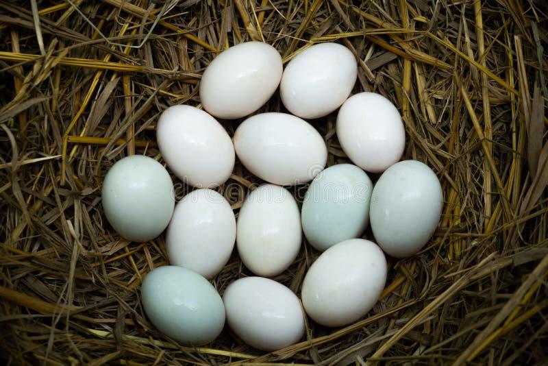 Jajka stawiający w słomianym, Białym kaczki jajku, obraz stock