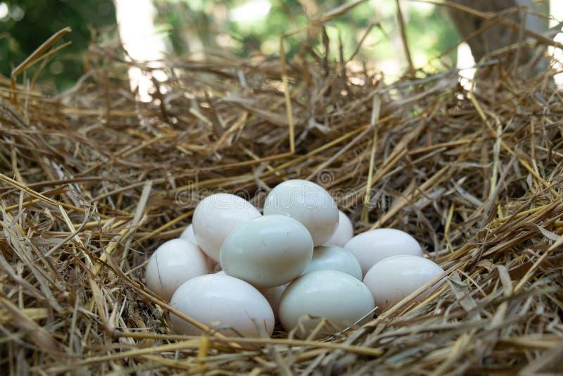 Jajka stawiający w słomianym, Białym kaczki jajku, fotografia stock