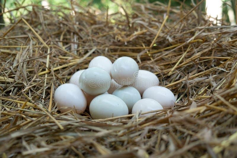 Jajka stawiający w słomianym, Białym kaczki jajku, obraz royalty free