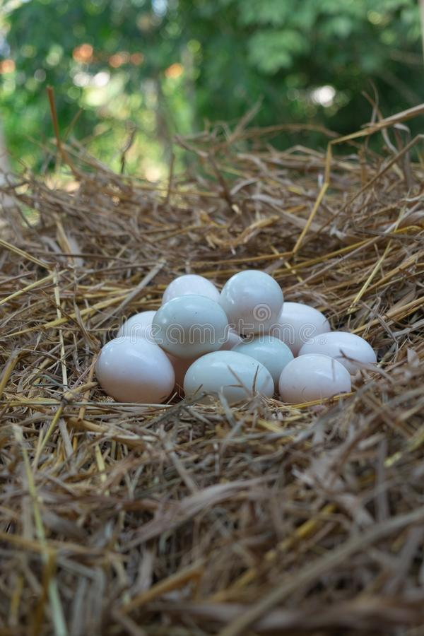 Jajka stawiający w słomianym, Białym kaczki jajku, fotografia royalty free