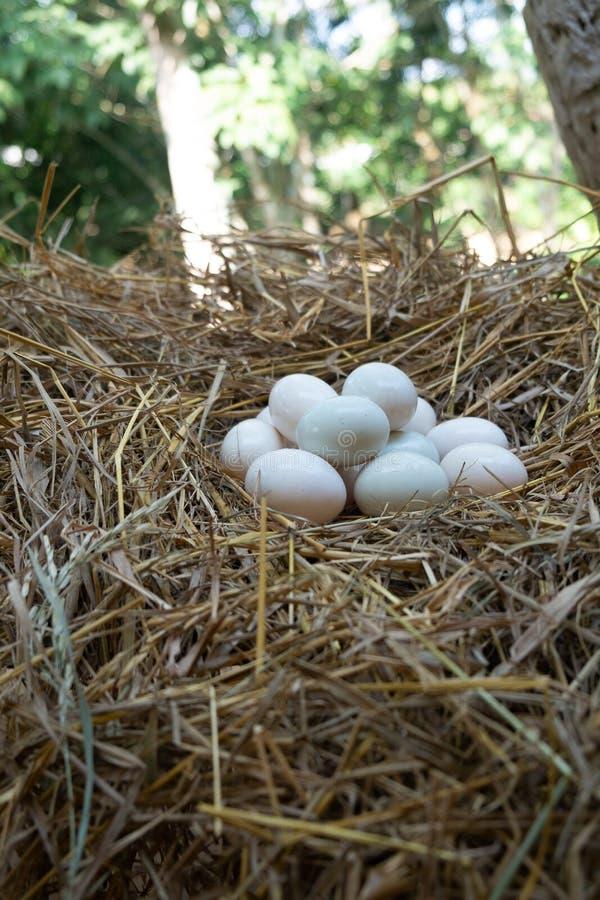 Jajka stawiający w słomianym, Białym kaczki jajku, zdjęcia royalty free