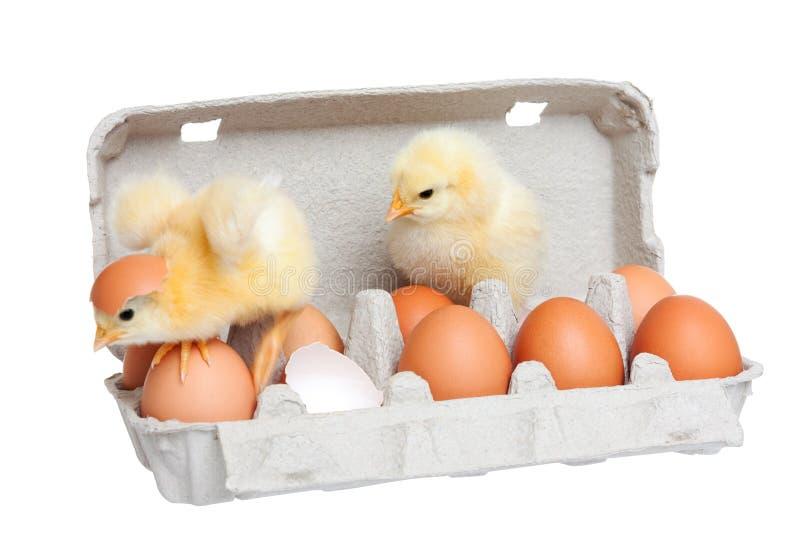 Jajka w pakunku z ślicznym kurczątkiem w ruchu zdjęcia royalty free