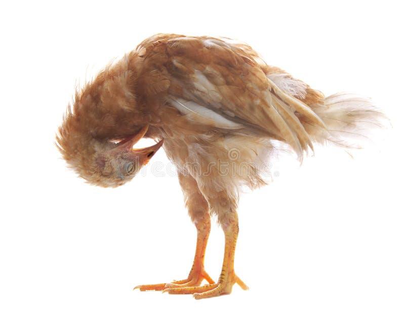 Jajko kurczaka kurna pozycja i preening upierzenia piórko odizolowywający fotografia royalty free