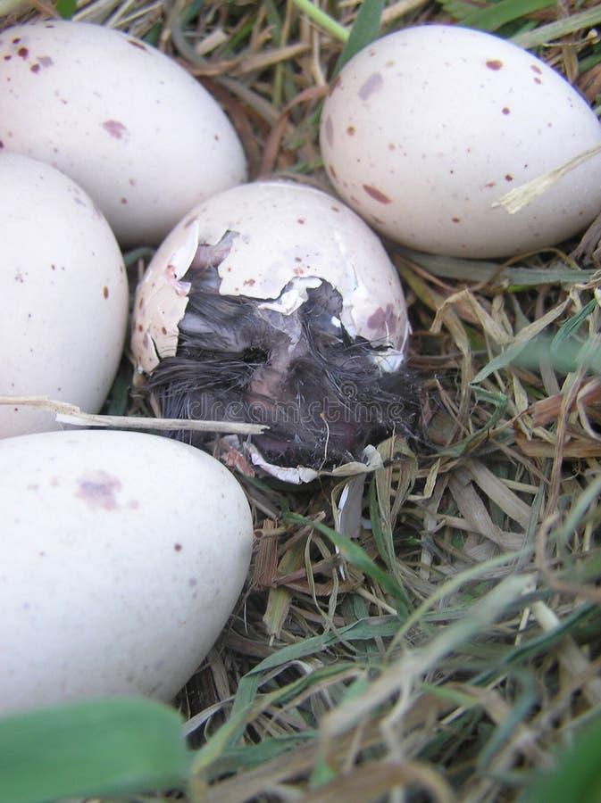 jajko się z weka zdjęcia stock