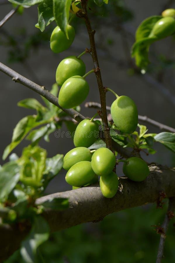 Jajnik śliwki owoc fotografia royalty free
