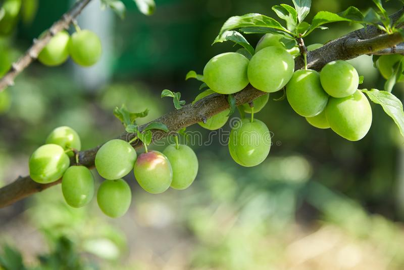 Jajnik śliwki owoc na gałąź zdjęcia stock