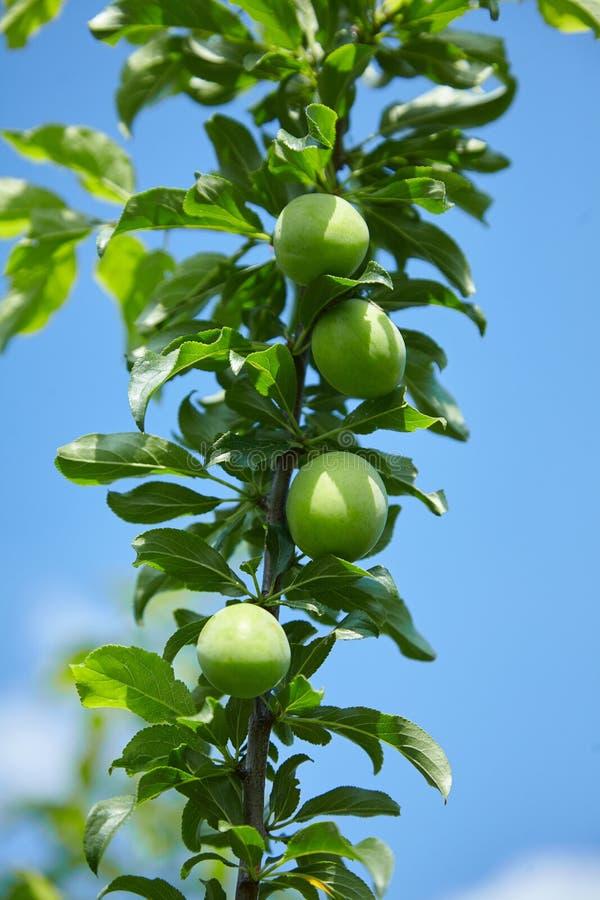 Jajnik śliwki owoc na gałąź fotografia royalty free