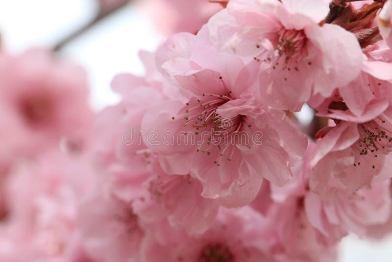 Jak brzoskwini okwitnięcie zdjęcia stock