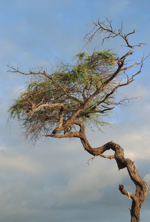 jak działa pokręcony drzewo. fotografia royalty free