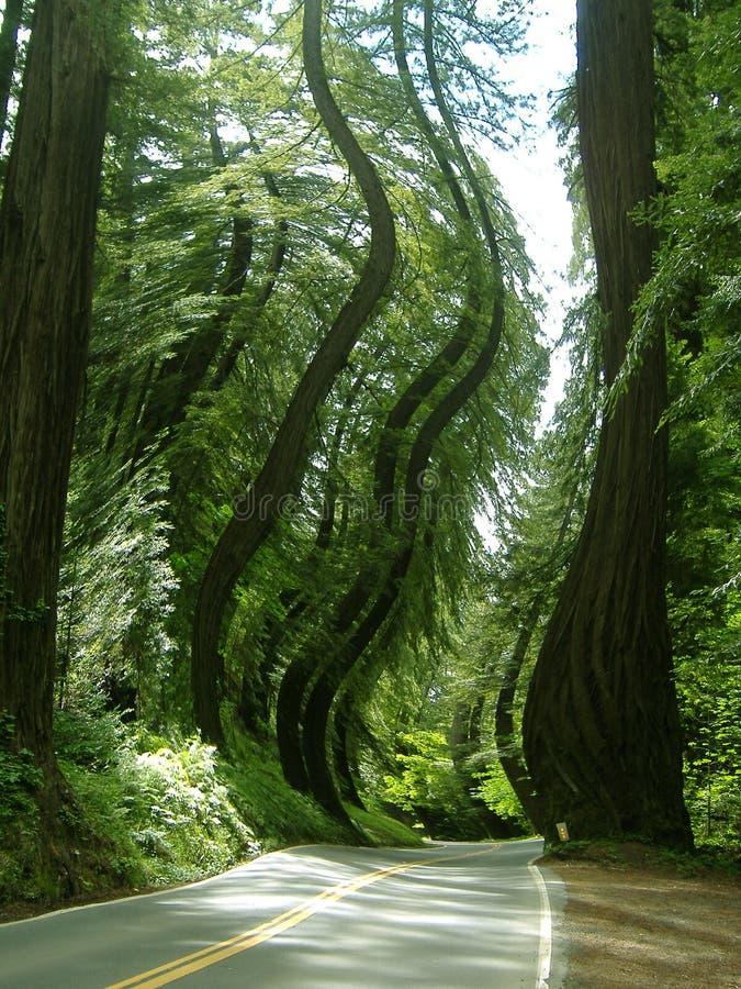 jak działa pokręcony lasu. obraz stock