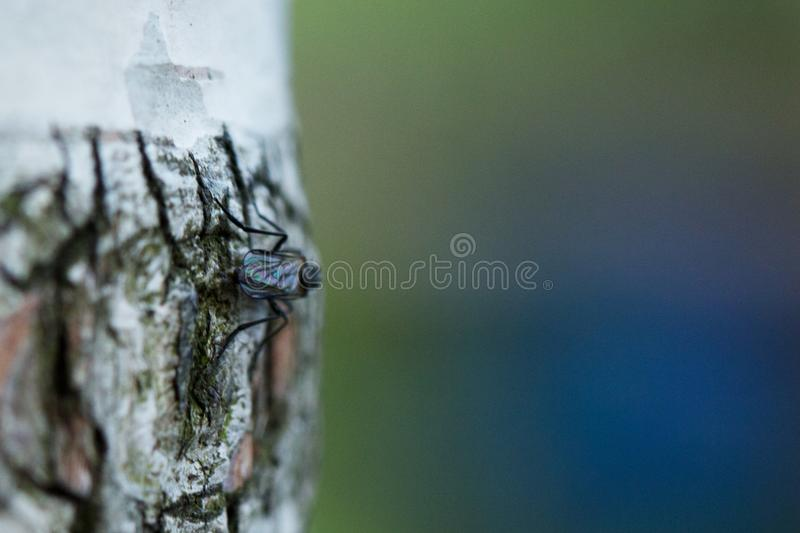 Jak komarnica przebierająca jako brzozy gałąź obrazy stock