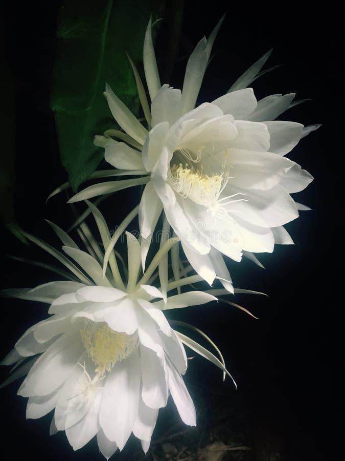 jak kwiat bloom cereus wie ostatni wieczór królowa czasami rano fotografia royalty free