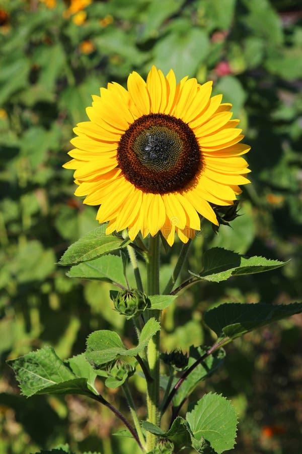 Jak słońce - słonecznikowa pozycja w polu zdjęcia royalty free