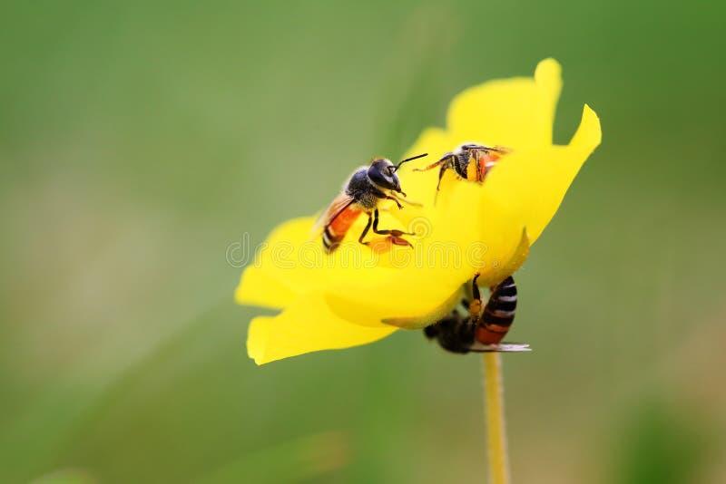 Jakaś żółty kwiat i pszczoły obraz royalty free