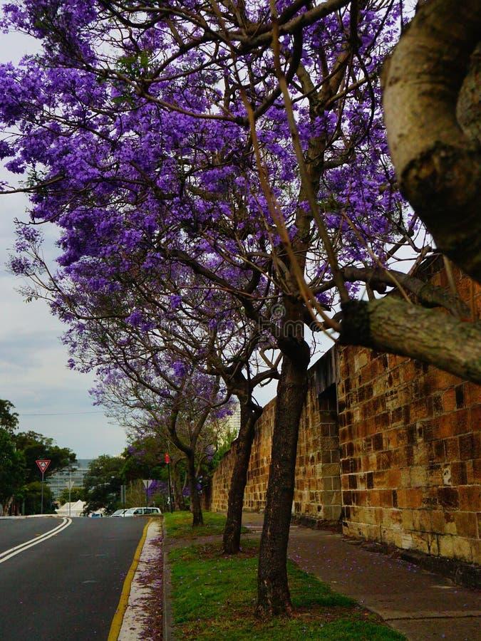 Jakaranda i gatan av Sydney royaltyfri foto