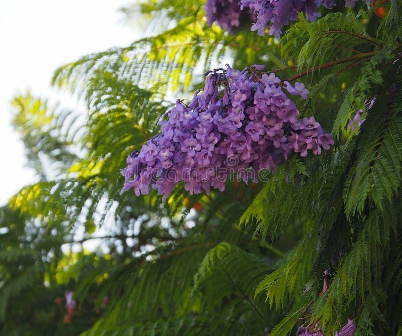 Jakaranda Mimosifolia eller jakaranda på Ilha Culatra Portugal royaltyfri foto