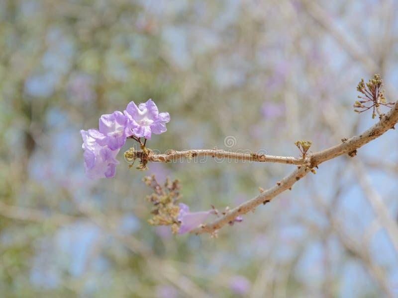 Jakarandaträd med den lila blomningen arkivfoton