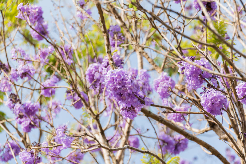 Jakarandaträd med grupper av lilablomman fotografering för bildbyråer