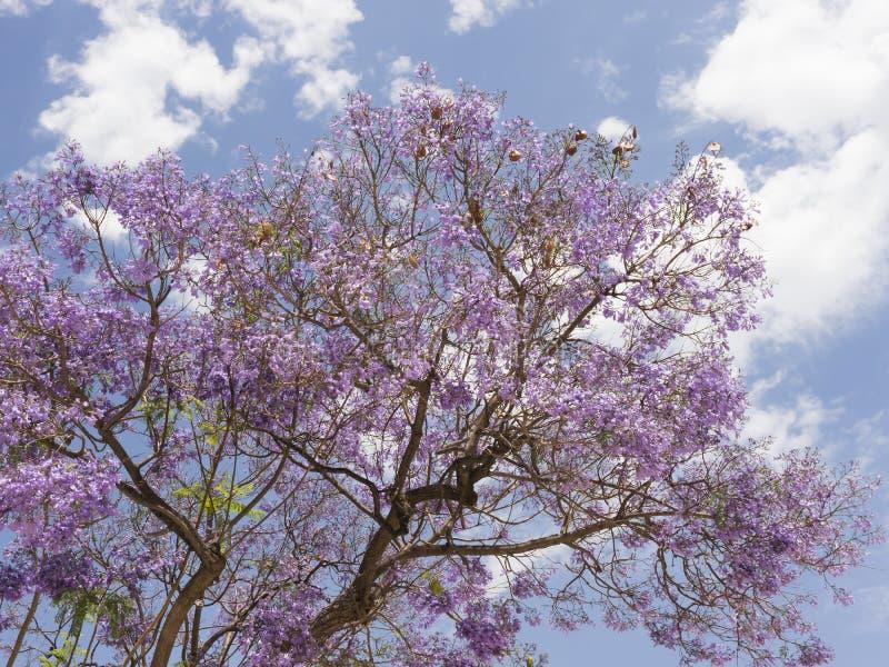 Jakarandaträd mot blå himmel royaltyfria bilder