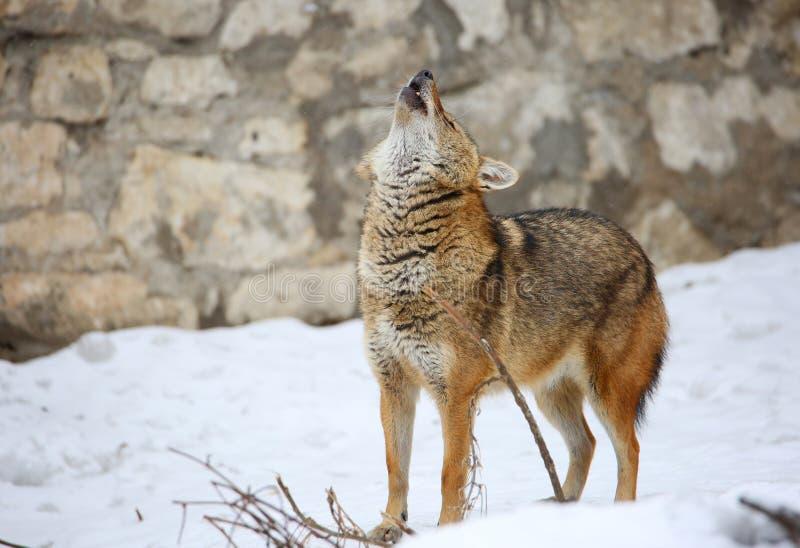 Jakhals of rietwolf Het Jakhalsgehuil stock fotografie