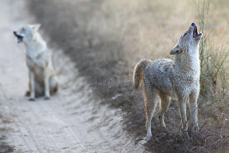 Jakhalzen in het Nationale Park India van Kanha royalty-vrije stock foto's