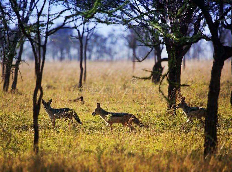 Jakhalzen op savanne. Safari in Serengeti, Tanzania, Afrika royalty-vrije stock foto's